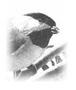 Chickadee_1